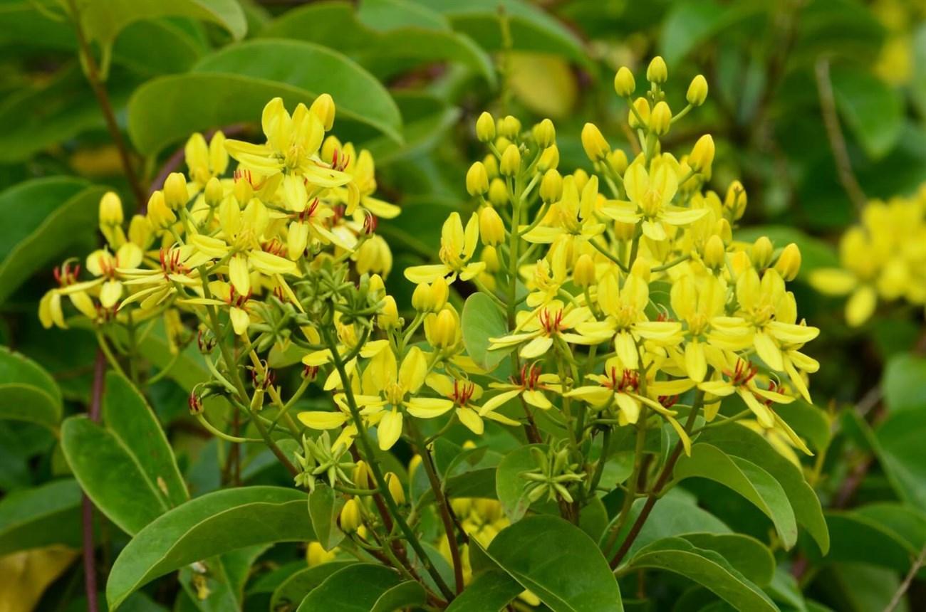 Hoa mai Canaria