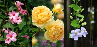 Top 15 loại hoa dây leo đẹp, dễ trồng và chịu nắng tốt nhất