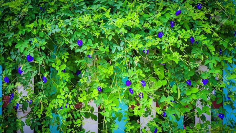 Bướm đậu hoa leo