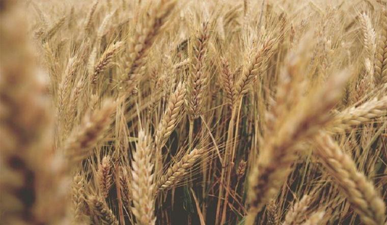 Lúa mì là gì? Tác dụng và tác hại đối với sức khỏe khi sử dụng lúa mì