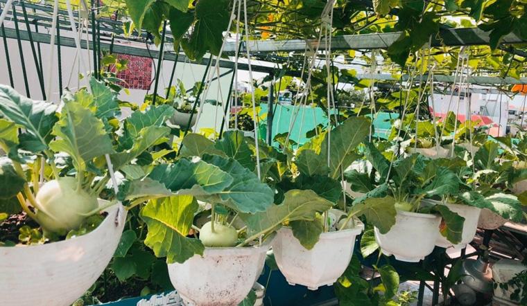 Kinh nghiệm trồng rau trên sân thượng cho người mới, rau xanh mướt hái mỏi tay