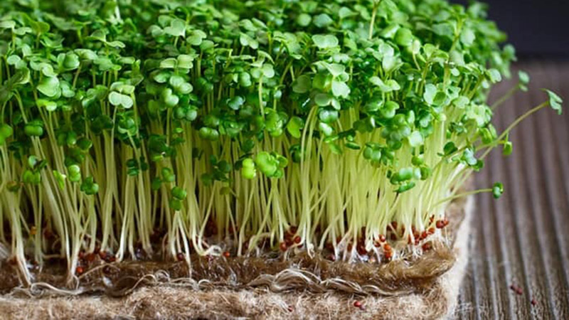 Rau mầm được trồng ở môi trường ấm nên rất dễ bị nhiễm khuẩn