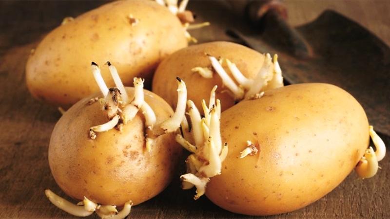 Ăn khoai tây mọc mầm gây ngộ độc thực phẩm