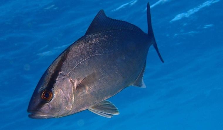 Cá cam là cá gì? Đặc điểm và lợi ích của cá cam đối với sức khỏe cơ thể