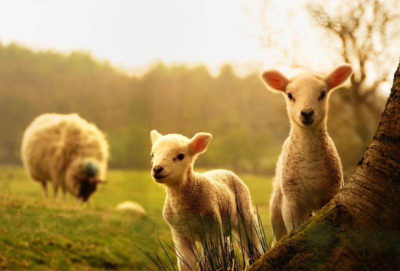 Chú cừu non