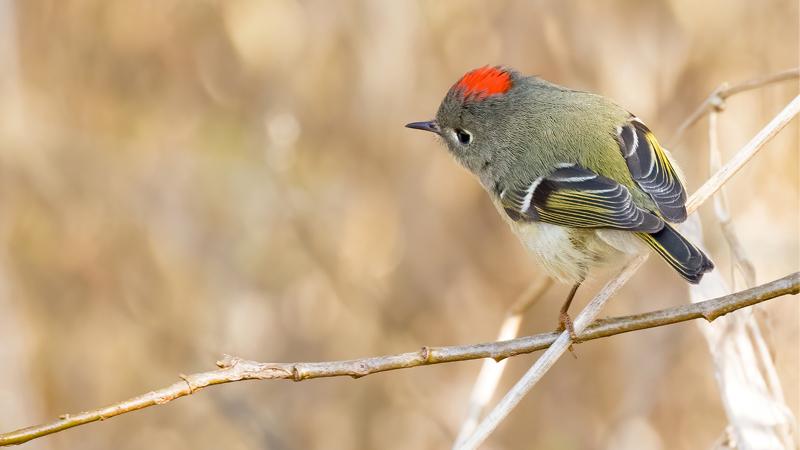Chim Hồng Tước